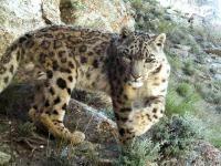 Afghanistan: nuove immagini  del leopardo delle nevi