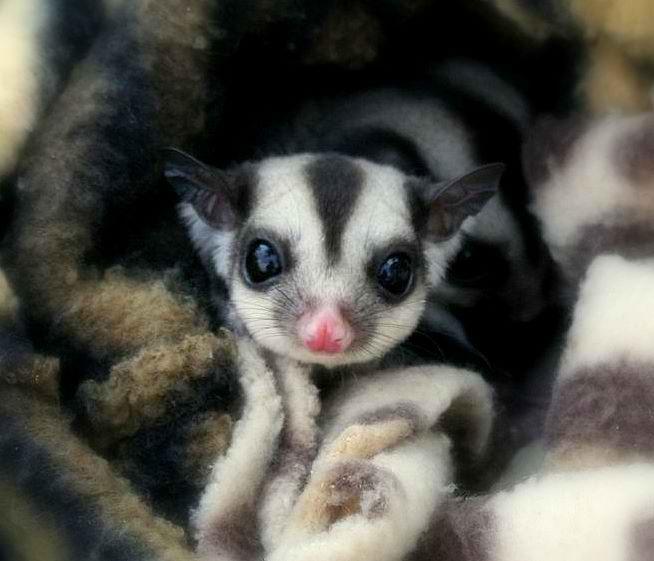 Cute Joey in a blanket