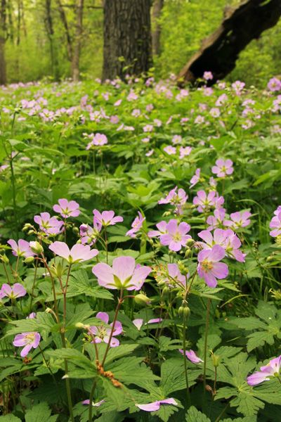 Wild geranium blooming in a Wisconsin woodland. (a little bit of info on collecting seed)