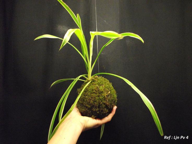 les autres plantes atypiques carnivores kokedamas aloe vera mes cr ations pinterest. Black Bedroom Furniture Sets. Home Design Ideas