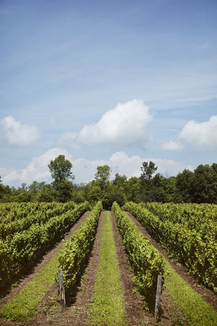 Grape Vines in Prince Edward County