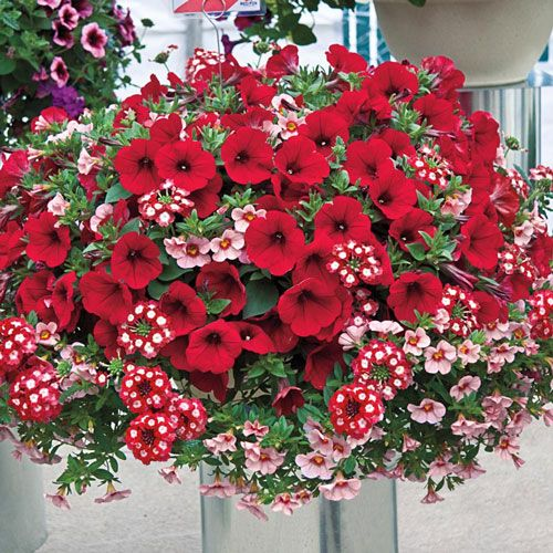Annuals & Tropicals - Romance Hanging Basket Collection