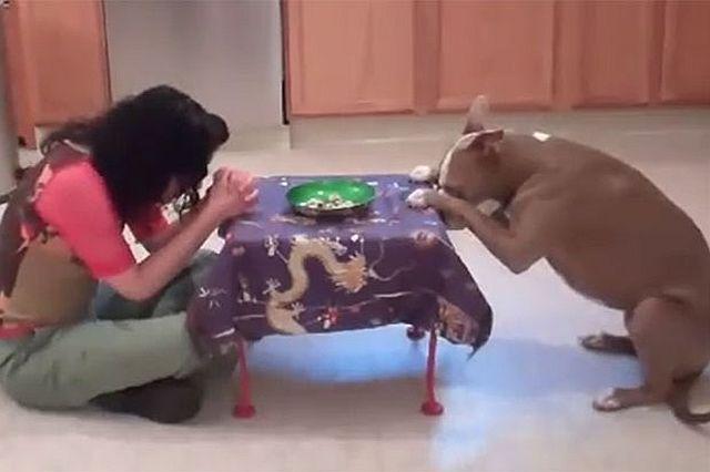 Láttál már ilyen bámulatosan okos pitbull kutyát?