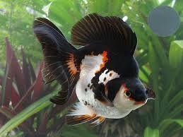 Resultado de imagem para peixe kinguio