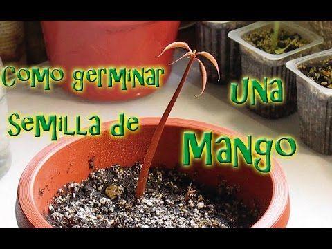 Como Germinar Una Semilla de Mango - YouTube
