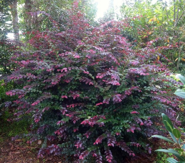 Loropetalum Chinense | Loropetalum chinense brightens up that dull corner of the garden