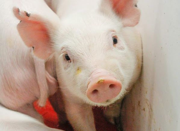 Hutson School of Agriculture teaming with Dining Services to serve local pork (The Teaching of Cruelty & Exploitative Economics)