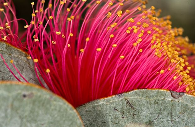 Wildflowers of Western Australia - Australian Geographic