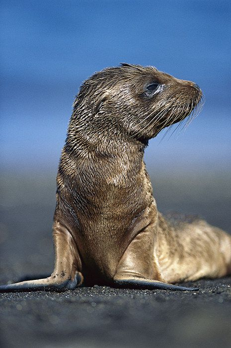 ~~Galapagos Sea Lion Pup  by Tui De Roy~~