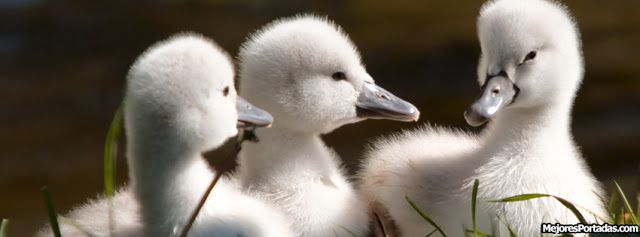 Crias cisne