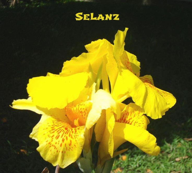 Flor del Capacho