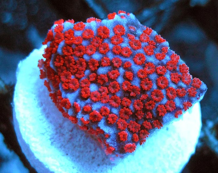 1000+ images about Montipora on Pinterest | Seasons, Products and ...