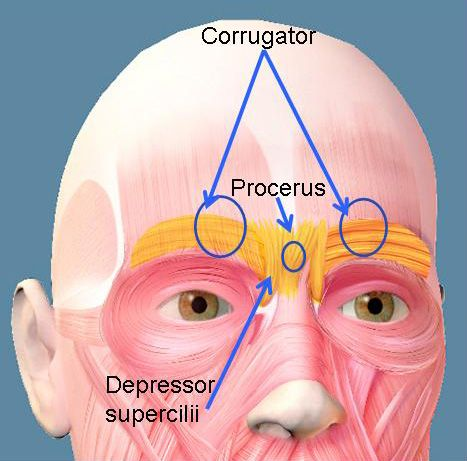 20 best a&p 1 images on pinterest | facial muscles, facials and, Human Body