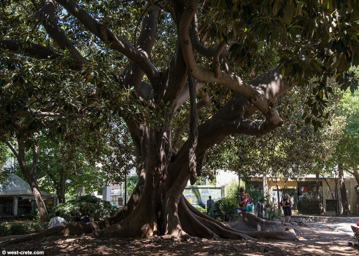 The old tree in the Municipal Garden of Chania offers shade to its visitors!