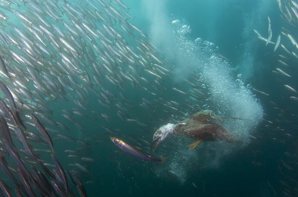 Cape Gannet diving for Sardines.
