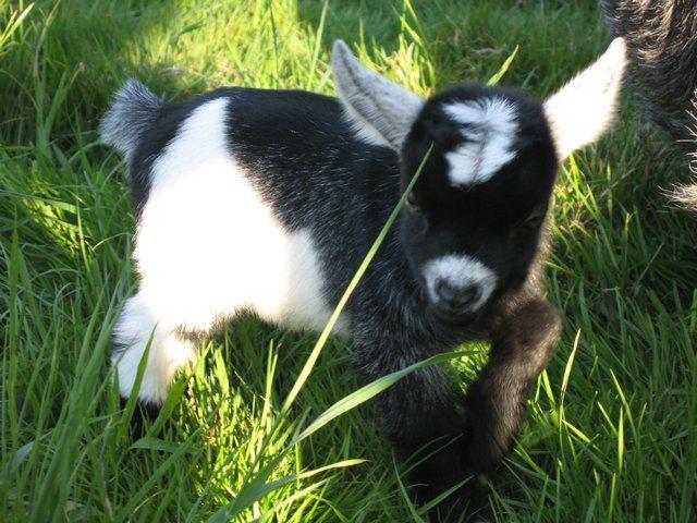 pygmy goats for sale | for sale registered pygmy goat kids disbudded no horns