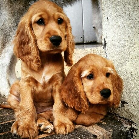 golden cocker spaniel puppies fluffy friends pinterest golden cocker spaniel puppies fluffy friends pinterest
