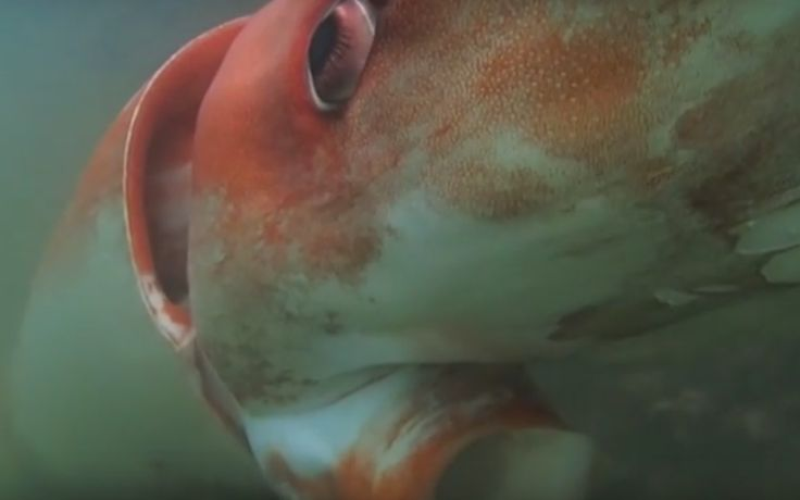 Giant Squid is Awesome Because it's a Giant Squid [Video] - EcoSalon