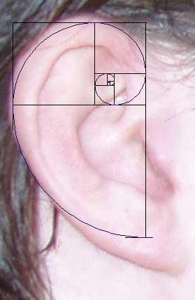 ".The Fibonacci Sequence in the human hear (measurements match to the ""T"")  #Fibonacci's sequence"