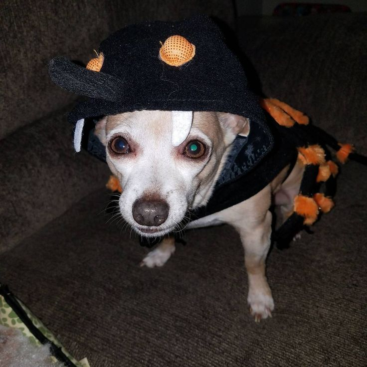 Tbone helped with the trick or treaters tonight!  #happyhalloween #spider #costume #funny #halloween #october #2017 #fall #autumn #momlife #doglife #dogmom #chihuahuamama #chihuahuasofinstagram #chihuahua #trickortreat #winstonsalem #wsnc #nc