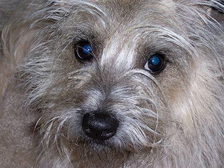 Conheça a raça Cairn Terrier
