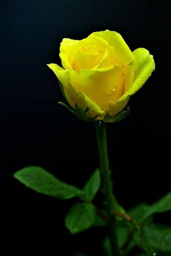 Yellow Roses Beautiful Flowers Beautiful Roses