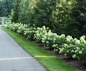 Little Lime Hydrangea Hedge