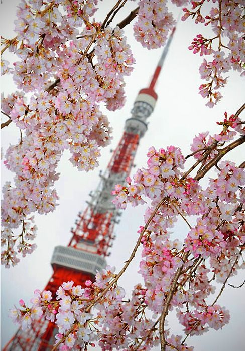 cherry blossoms in Japan - I have seen these; they are so beautiful up close and personal