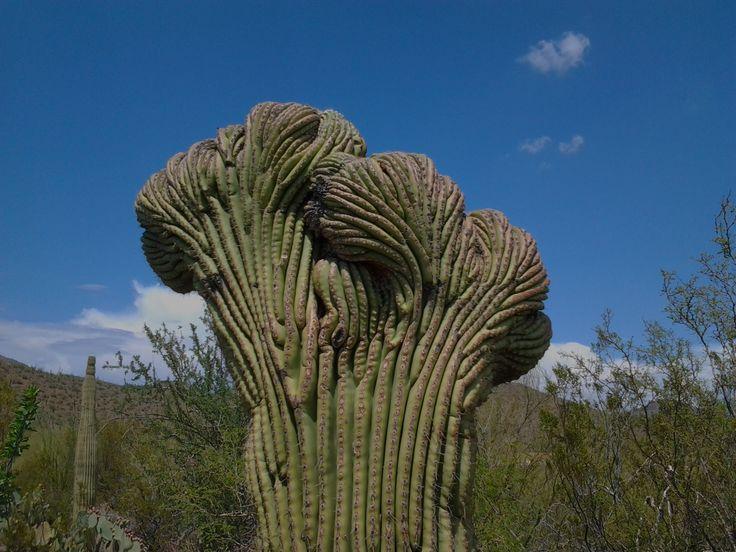 Interesting Saguaro Cactus Facts