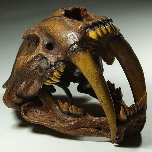 Sabre Tooth Cat Skull. We had to learn to face these creatures. Hard to imagine!