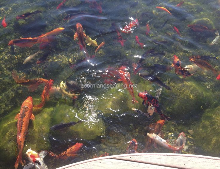 8 best images about pond fish rochester ny koi and for Koi pond algae control