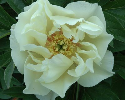 Peony Lunar Glow ~ Itoh Hybrid. Quality Lunar Glow ~ Itoh Hybrid Roots at Peony Shop Holland