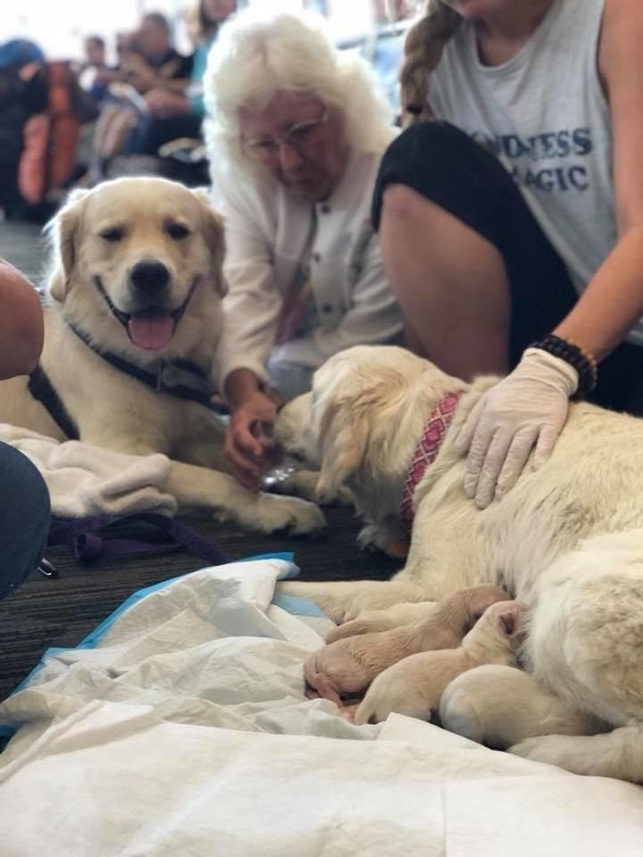 Golden Retriever Eleanor Rigby Known As Ellie Was Traveling Home With Her Owner Diane Van Atter And Her Puppy Daddy Golden Nugget When S Dog Having Puppies Service Dogs Dogs