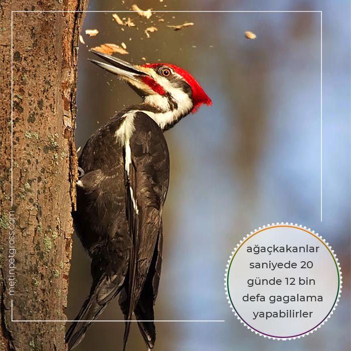 Ağaçkakanlar saniyede 20, günde 12 bin defa gagalama yapabilirler…    #ağaçkakan #woodpecker #animallover #animal #instagood #hayvansevgisi #instalike #prilaga #Turkey #ilginçbilgiler #doğa #nature
