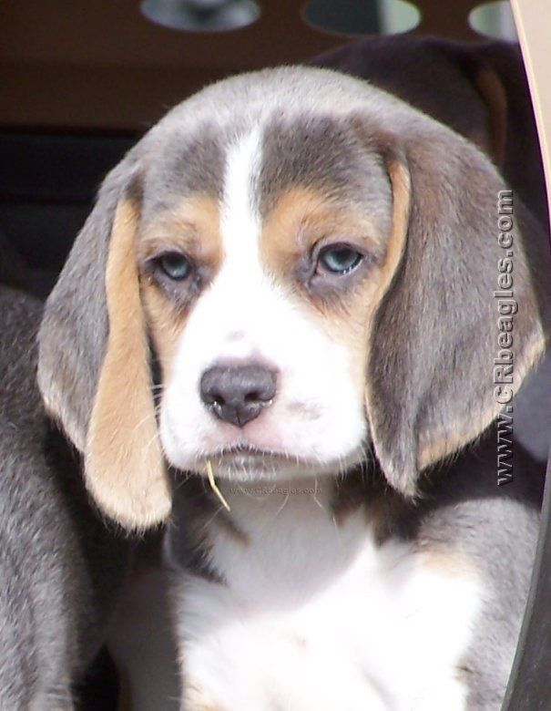 COLORS, UNIQUE BEAGLE COLORS: Khaki, Mocha, Lilac, and Silver