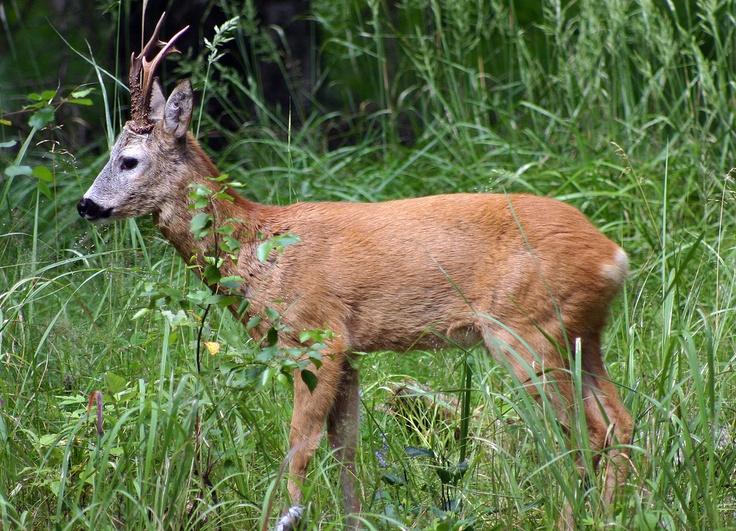 Metsäkauris on Väritykseltään kesällä punaruskea ja talvella hamaanruskea. Häntä on hyvin lyhyt, vain 2-4 cm. Se painaa 15-35 kg ja sen pituus on 90-135 cm. Kirjoittanut Nikke & Veeti