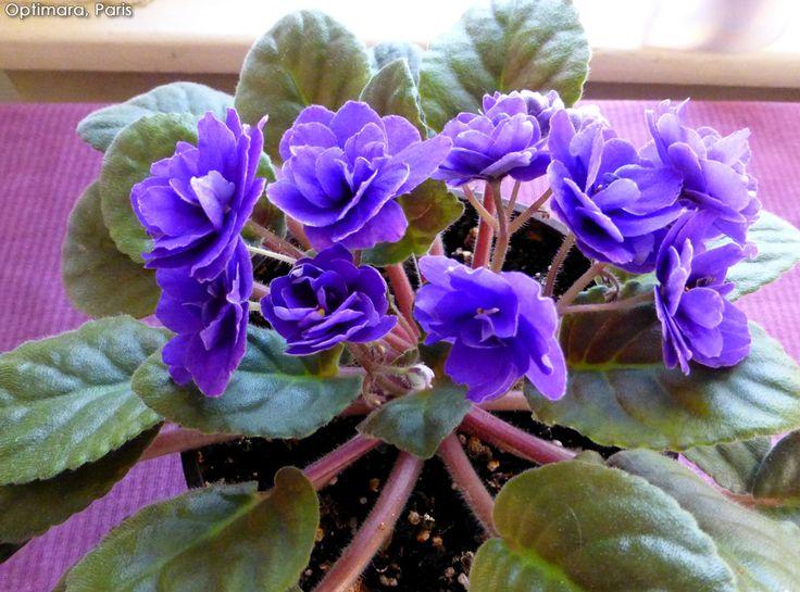 Les 402 meilleures images du tableau violetas africanas for Violette africane