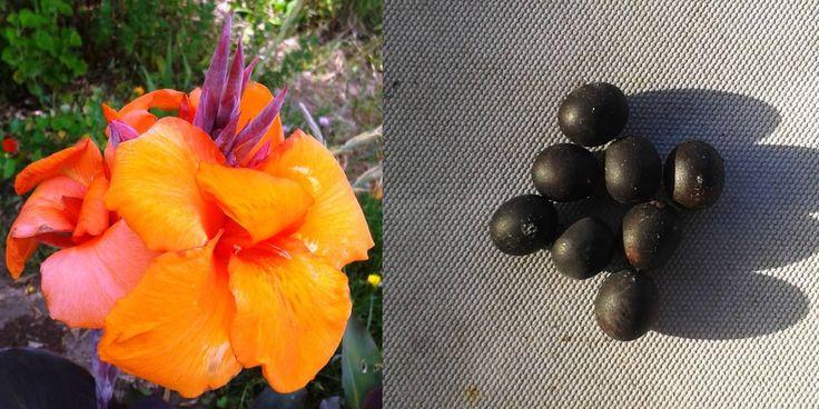 PRODUTO DO MÊS!!  Em Dezembro, as Sementes de Cana-da-Índia são o produto do mês, e por isso vão estar com 20% de DESCONTO até 31/12/2016!! Cada pacote, de 10 sementes, fica em 0,80€ (já com o desconto). Aproveite!  #Biokafs_Agro #SementesDeCanaDaÍndia #CanaDaÍndia #Sementes #Flores #SementesBiológicas #PlantasBiológicas #Biológico #Bio #Promoção #Dezembro #Outono #Inverno #Plantas #Natureza #Nature #Fotografia