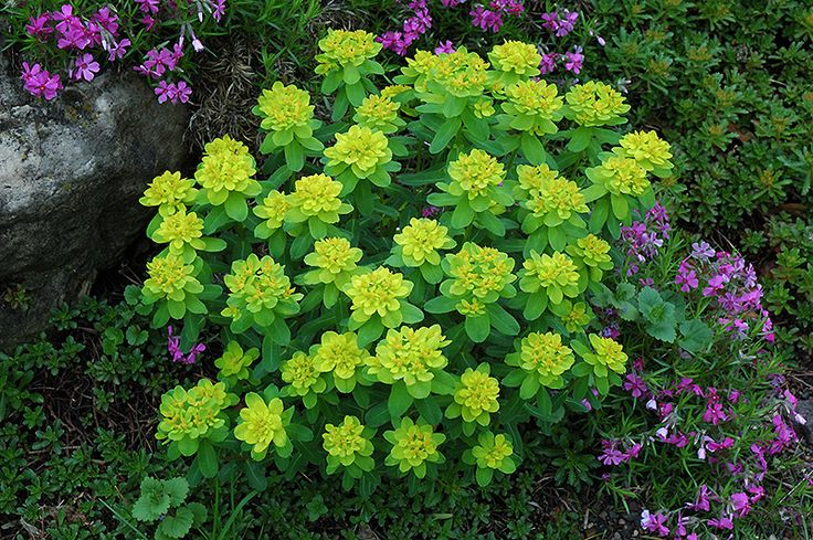 Euphorbia polychroma Seizoen 5-10 hoogte 40 plantafstand 45