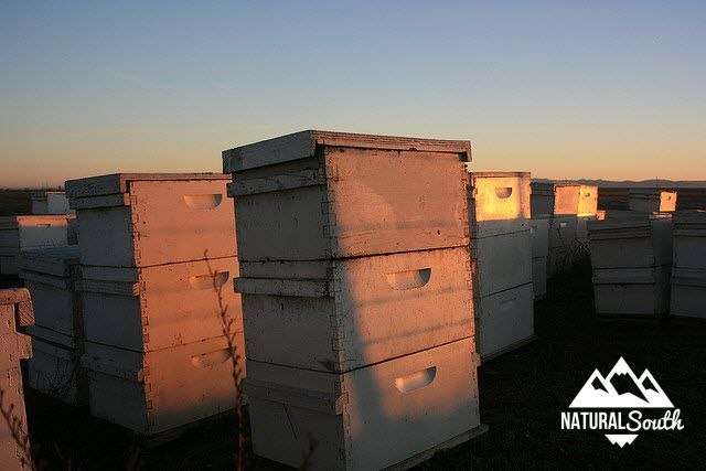 Find out about all the health benefits of bee propolis produced in New Zealand in hives like this.