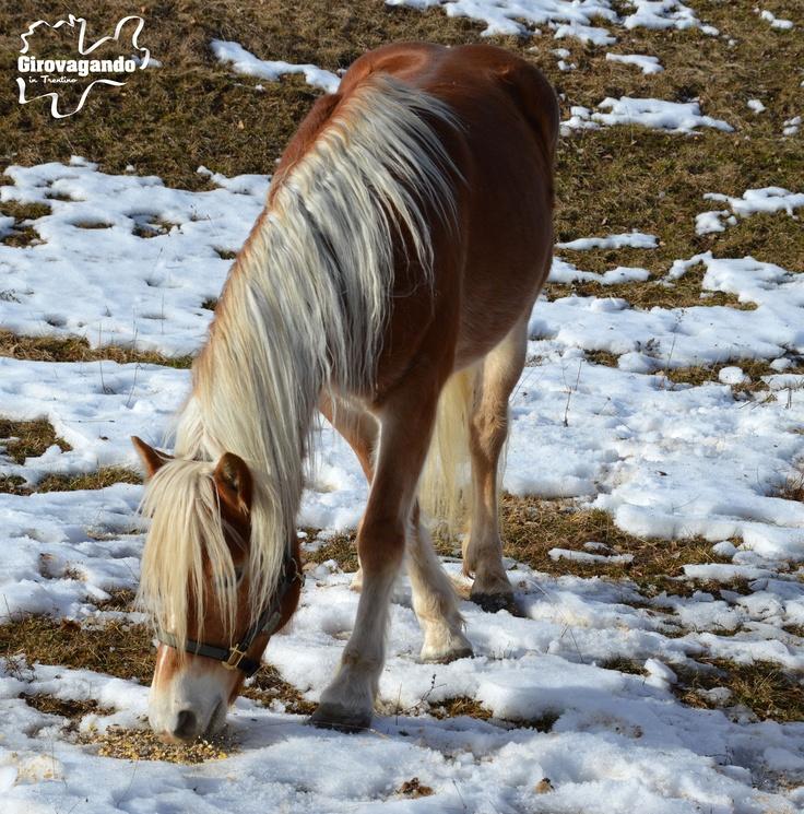 Cavallo avelignese  Alcuni degli animali ospitati nei prati attorno a Malga Candriai