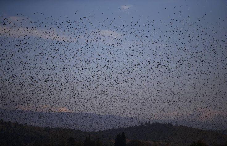 26.11 Des centaines d'étourneaux volent au-dessus du village de Gevgelija, en Macédoine.Photo: Reuters/Stoyan Nenov