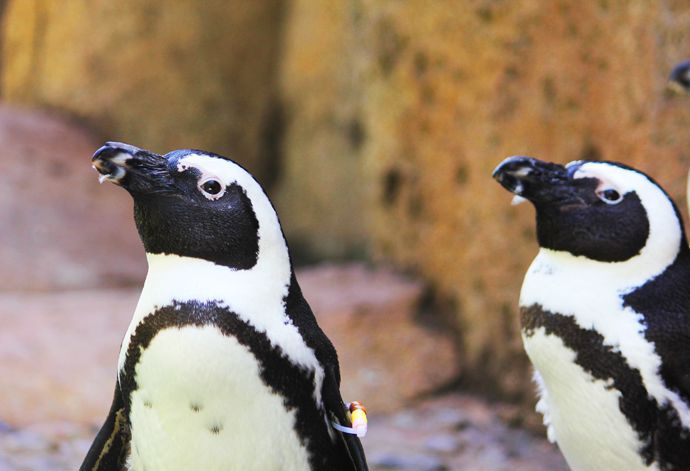 The Vancouver Aquarium Welcomes Six African Penguins to Penguin Point: The Vancouver Aquarium has acquired six African penguins for its newest exhibit, Penguin Point, which is now open to the public