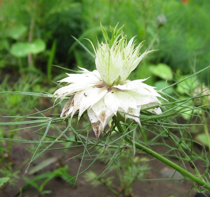 У этого необычайно красивого аристократичного растения невероятное количество названий. Наряду с официальным, произошедшим от латинского слова «никеллус», имеется еще добрый десяток. Это и чернушка (видимо, потому, что у нее черные, довольно крупные семена, очень похожие на семена обычного лука, которые мы также называем чернушкой), и «девица в зелени», и римский кориандр, и волосы Венеры, и черный тмин. А англичане вообще именуют ее «любовь в тумане».