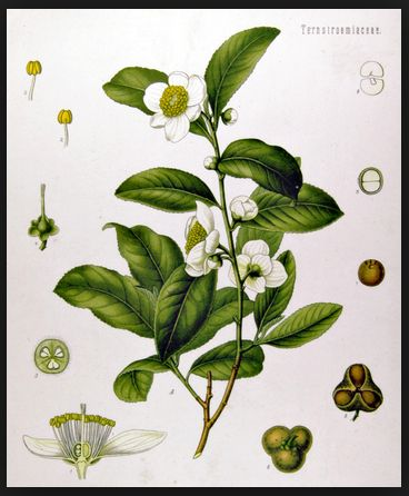 Té negro, beneficios y propiedades medicinales ecoagricultor.com