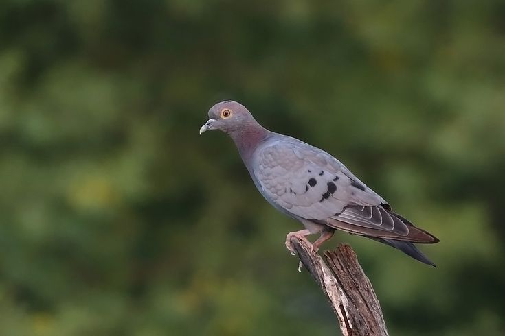 Essay on bird pigeon