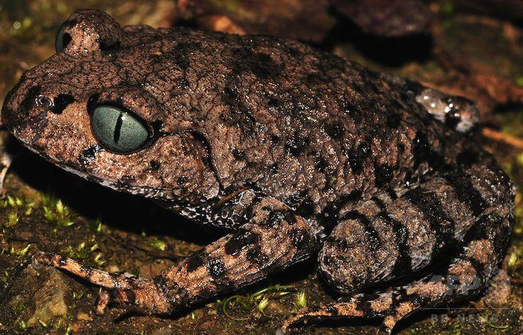 ヒマラヤ山脈東部の地域で発見されたウデナガガエル Leptobrachium の一種。世界自然保護基金が公開(2015年10月6日公開)。(c)AFP/WWF/SANJAY SONDHI ▼6Oct2015AFP|「くしゃみザル」や「歩く」魚など、新種生物211種をヒマラヤで発見 http://www.afpbb.com/articles/-/3062369