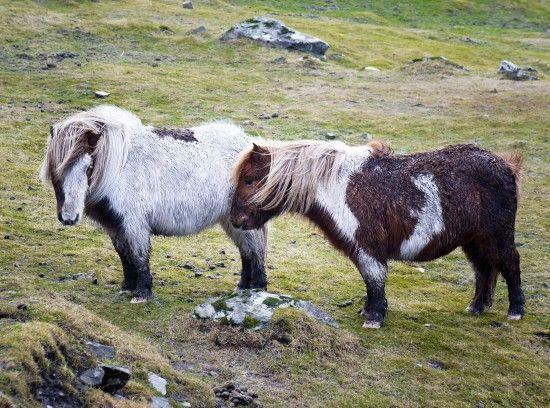 Bucket list: See cute Shetland ponies on Shetland Island, Scotland