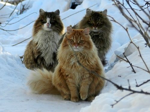 """Norwegian Forest Cats  """"Sisters to the Dire Wolves."""" - @thesigother  solarlogos:    Norwegian forest cats"""