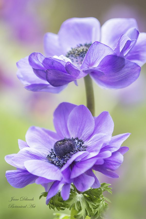 ~~Duet   Purple Anemone   by Jane Dibnah~~